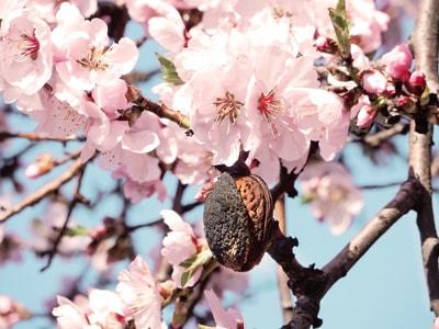 mandelbaum mandelbluete