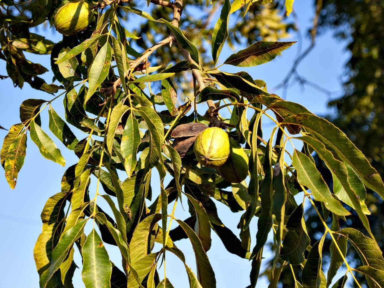 Pekannussbaum